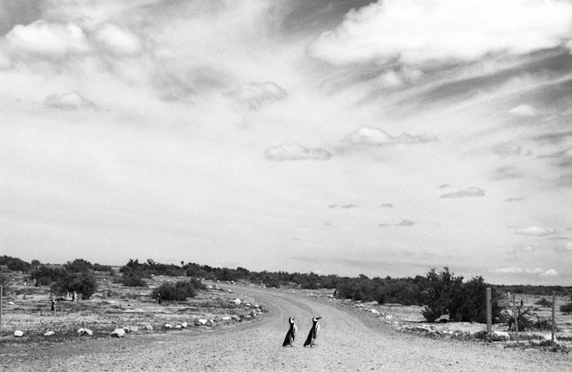 Why did the penguins cross the road.  Seriously, is that two penguins crossing the highway?